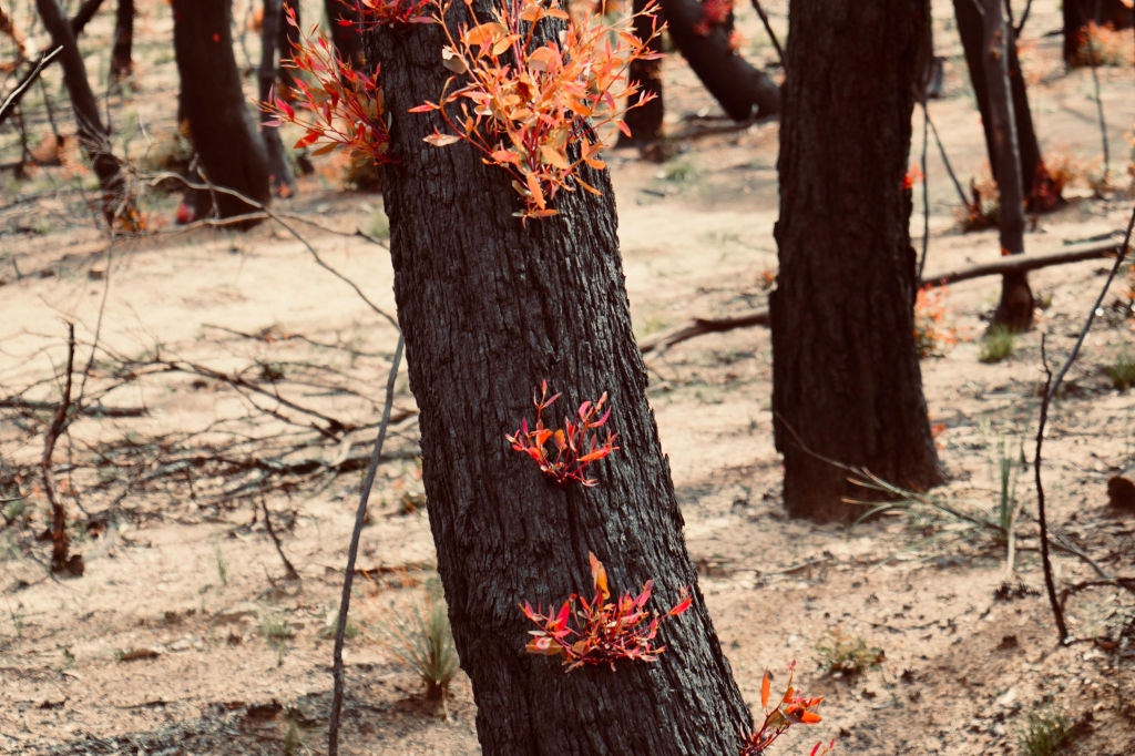 Foliage regrowing after bushfire: Blue Mountains, New South Wales, Australia